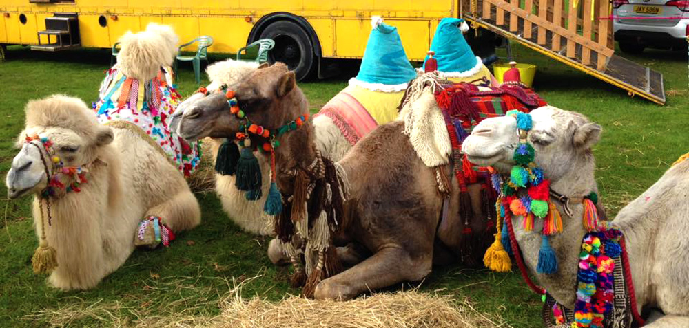 Camels at the Showmans Show